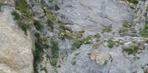 mur de saxifrages