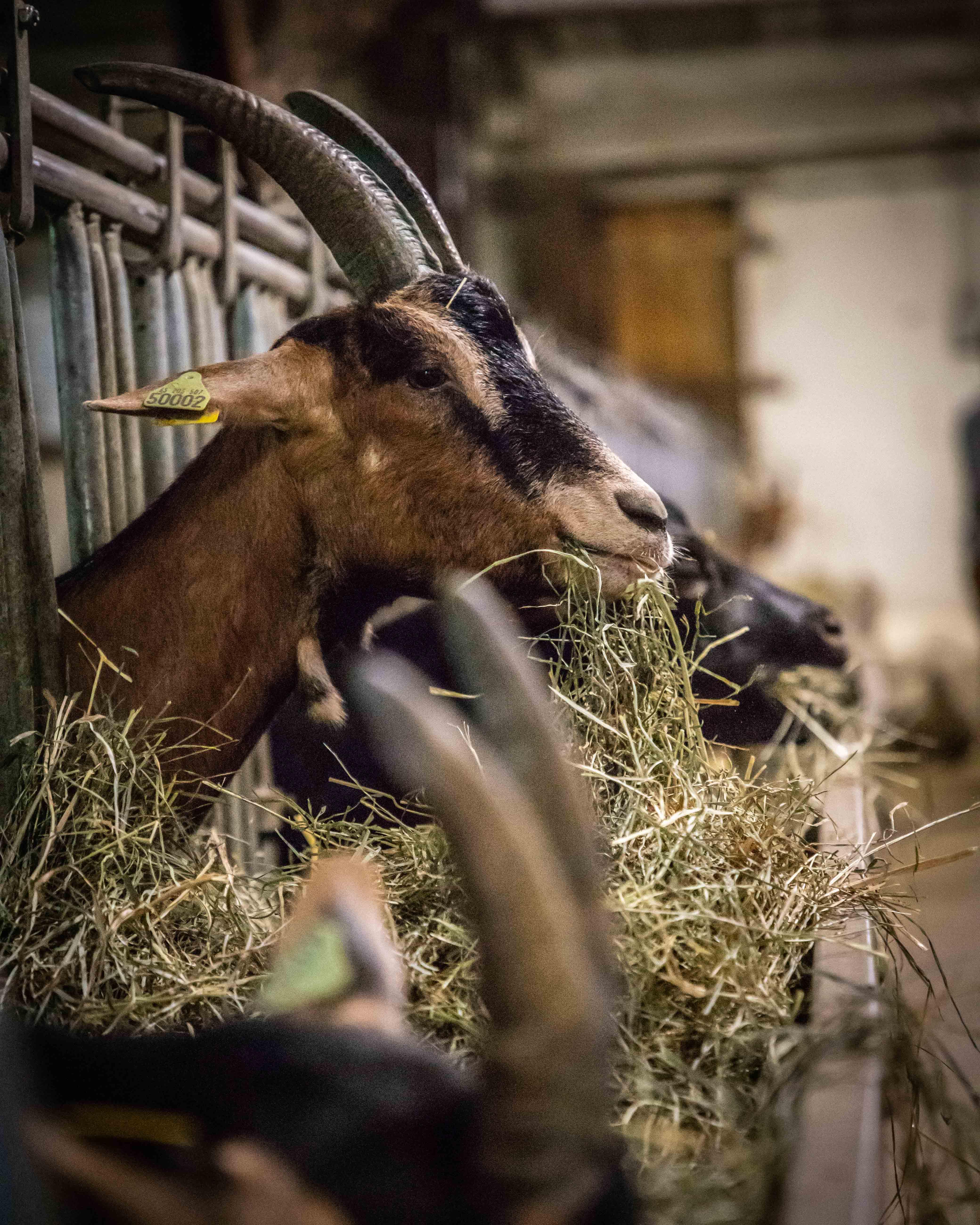 Chèvre de Gouaux