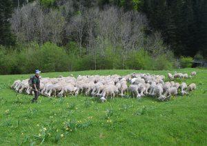 le troupeau sur les estives